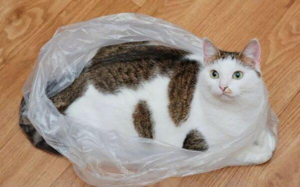 gato vs plastico bolha