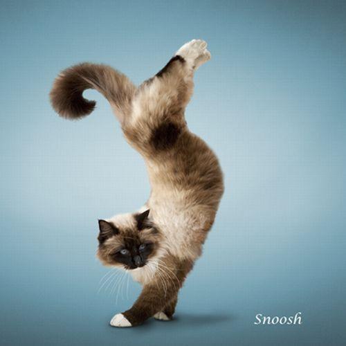 Gatos fazendo Yoga