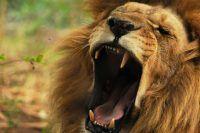 Leão dando o seu melhor rugido