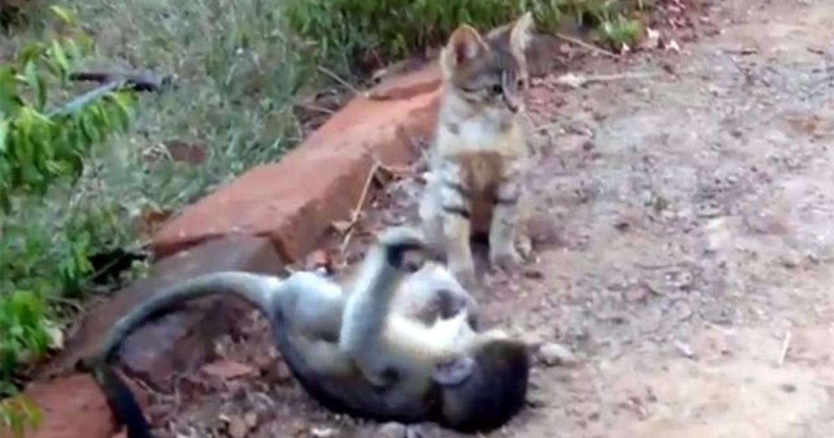 bebe macaco brincando com gatinho
