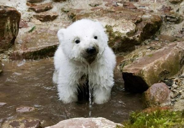 baby urso polar