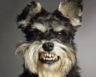 cachorro bravo