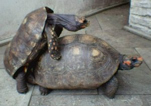 tartaruga trepando
