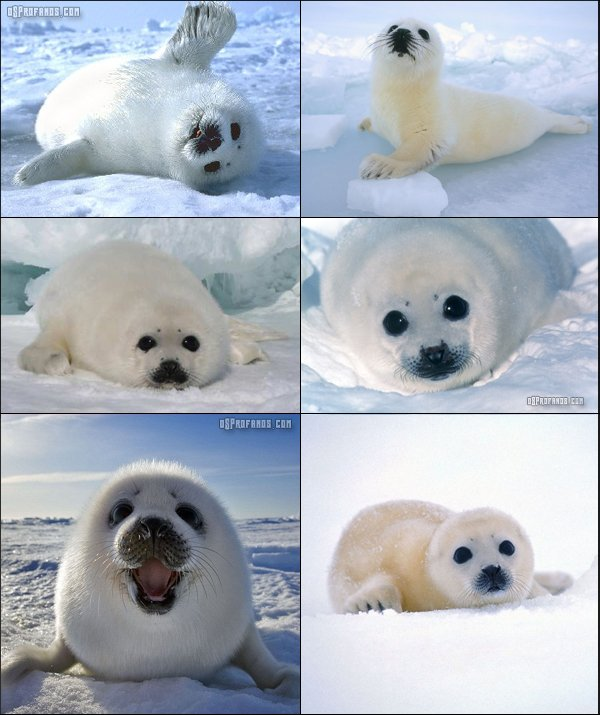bebe-foca