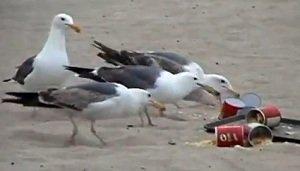 laxante gaivotas