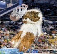 Guinea Pig Olympics 4