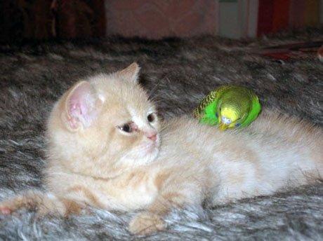 gato periquito