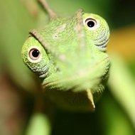 Como assustar um camaleão