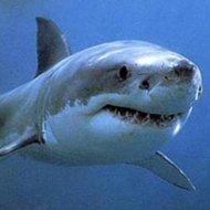 Só um tubarãozinho