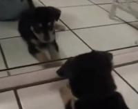 cachorro-se-olhando-no-espelho