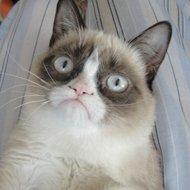 Conheça Tard: o gato mais mau humorado da internet