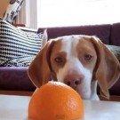 beagle-laranja