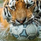 tigre brincando 3