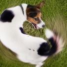 cachorro pegar seu proprio rabo