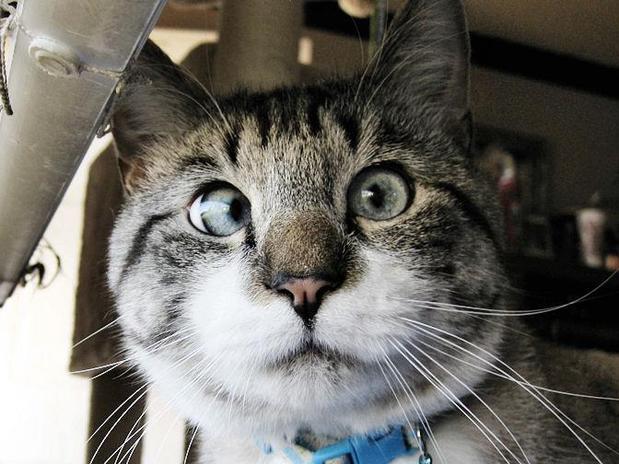 Como ensinar seu gato a tirar uma foto perfeita de perfil pro Facebook