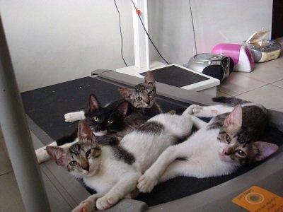 Os gatos e a esteira