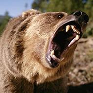 Apenas um urso normal na Rússia