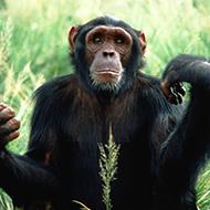 Chimpanzé ao ser libertado dá um abraço na mulher que o salvou da morte