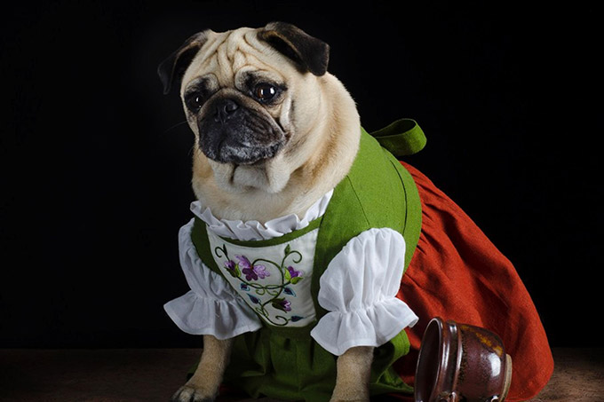 Pugs-in-Fancy-Dress-2