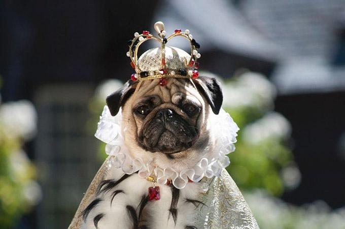 Pugs-in-Fancy-Dress-3