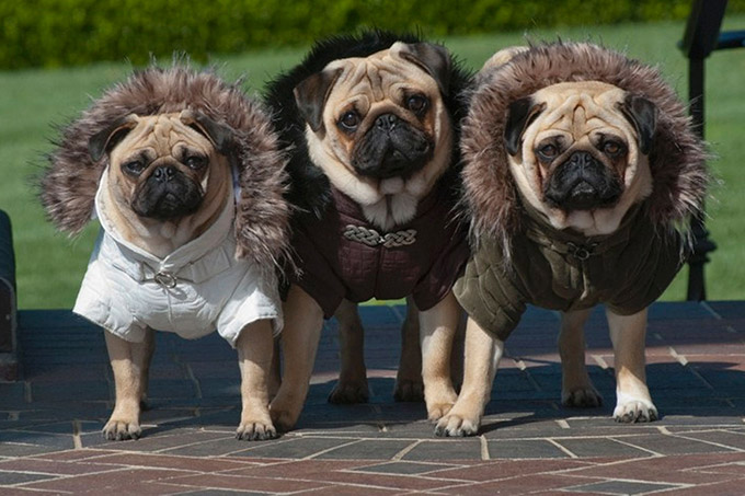 Pugs-in-Fancy-Dress-5
