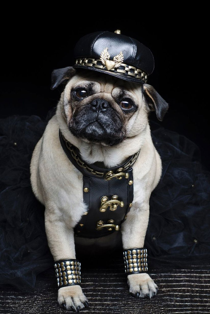 Pugs-in-Fancy-Dress-7