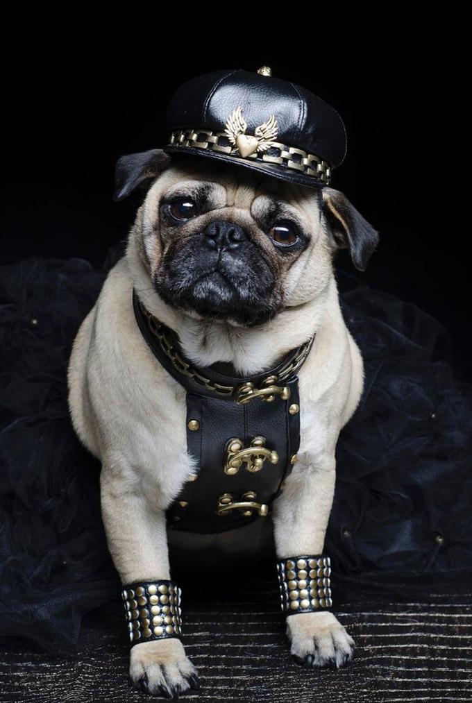 Pugs-in-Fancy-Dress-7