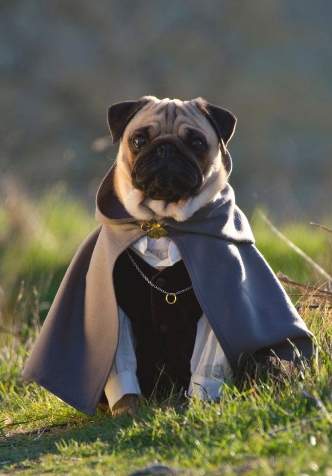 Pugs-in-Fancy-Dress-8