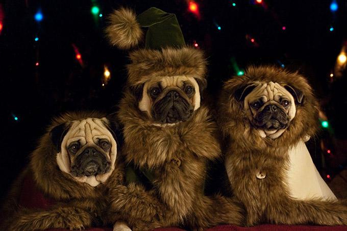 Pugs-in-Fancy-Dress