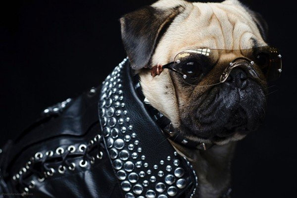 Pugs in Fancy Dress 1