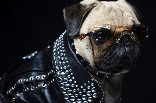 Pugs in Fancy Dress 1