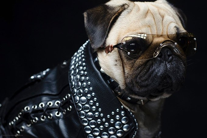 Pugs-in-Fancy-Dress_1