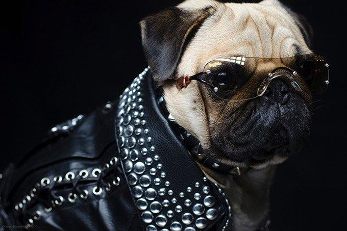 Pugs-in-Fancy-Dress_1