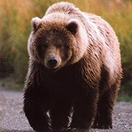 Ficando cara a cara com um urso selvagem