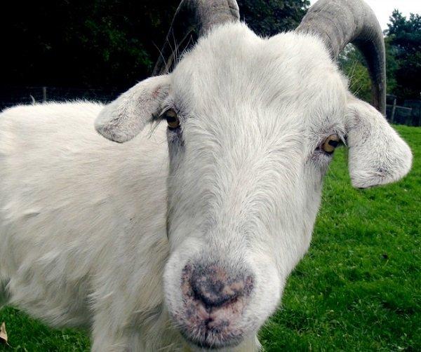 Cabra simulator – O GTA da vida de uma cabra