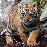 Jonas, um tigre em minha casa