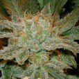 Cannabis Indica x Cannabis Sativa