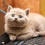 Kitten On A Laptop