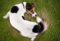 O que acontece quando um cão consegue pegar seu próprio rabo?
