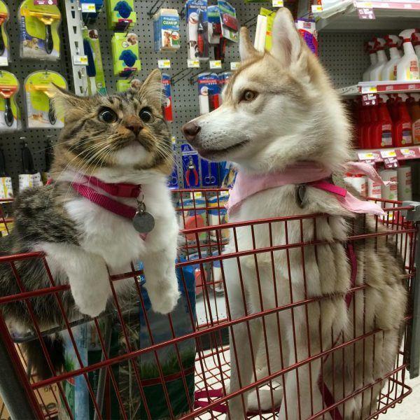 Instagram da Semana: @lilothehusky e sua gata de estimação