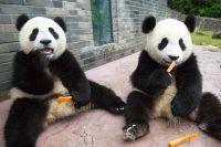 Pandas criando confusão e perseguindo funcionários