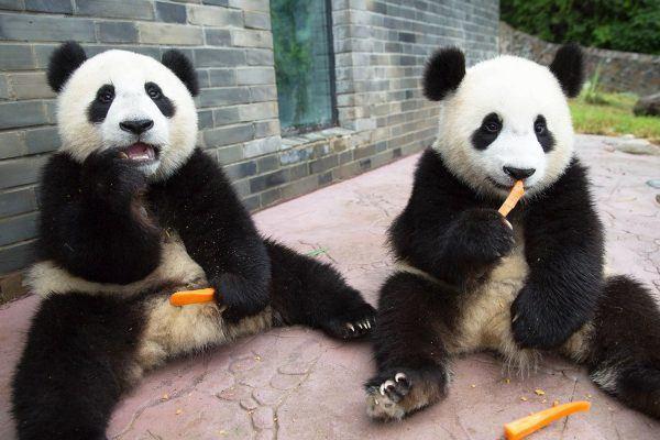 Pandas criando confusao e perseguindo funcionarios 2