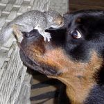 A special moment between the rescue squirrel, King Arthur, and the rottweiler, Lexie.Ê