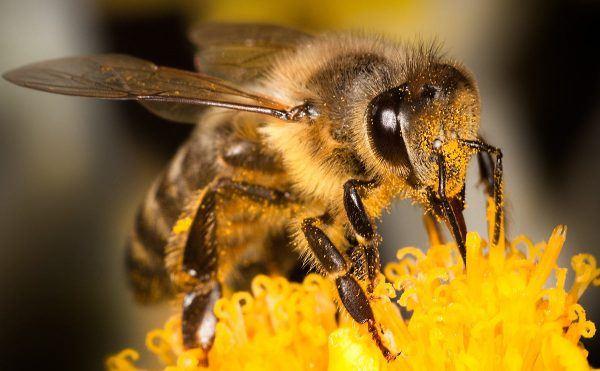 Por que as abelhas estao desaparecendo 3