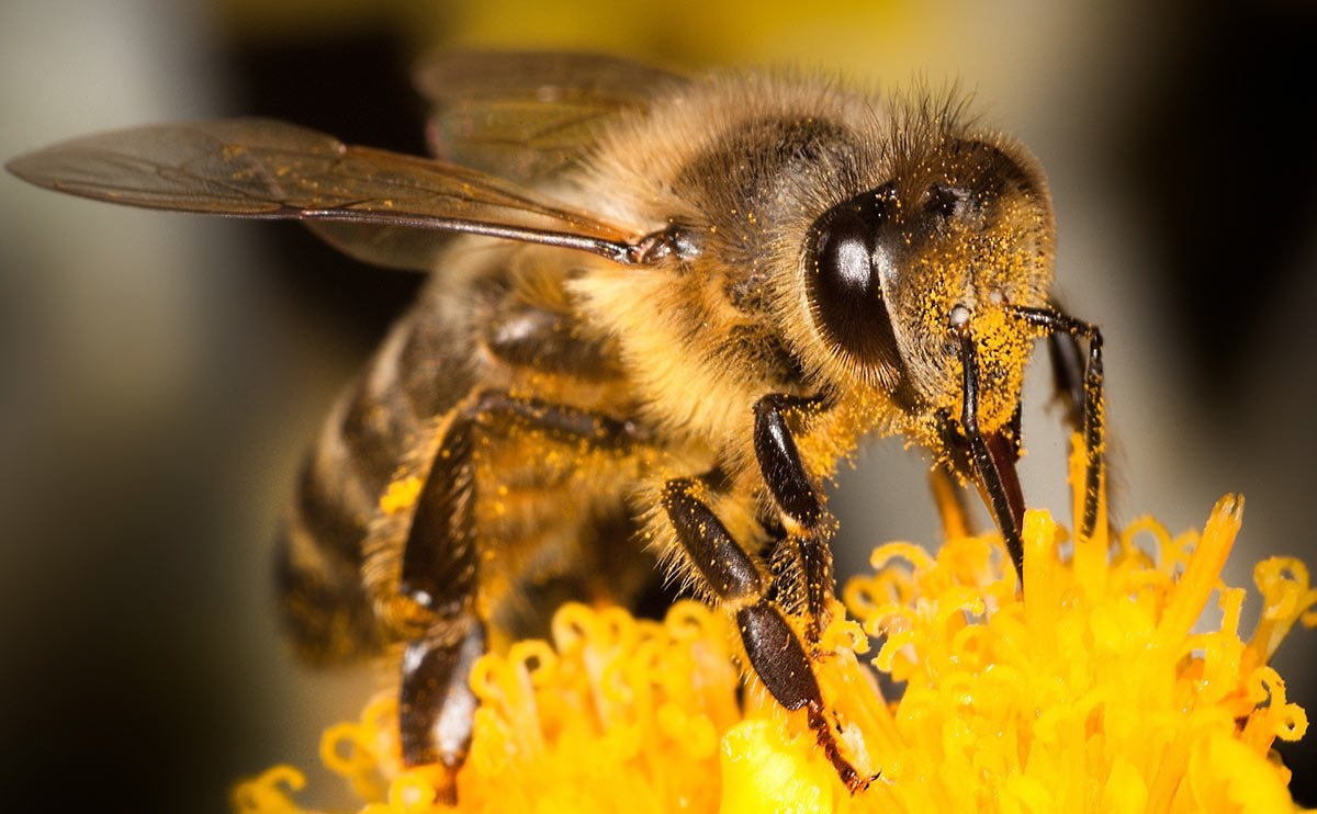 Por que as abelhas estão desaparecendo?