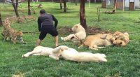 Tigre impede ataque de leopardo contra tratador de zoológico