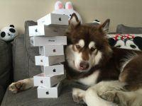Chinês excêntrico compra oito iPhones 7 para a sua cadela