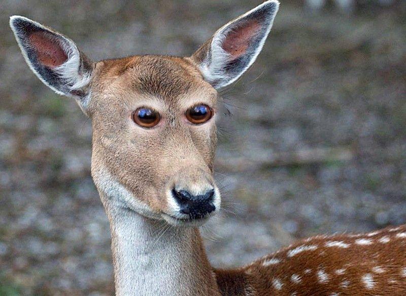 Como os animais seriam se tivessem olhos na frente