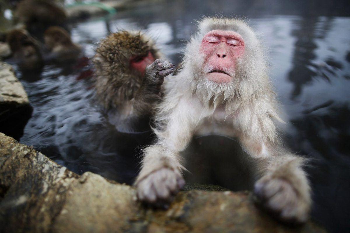 macaco japones