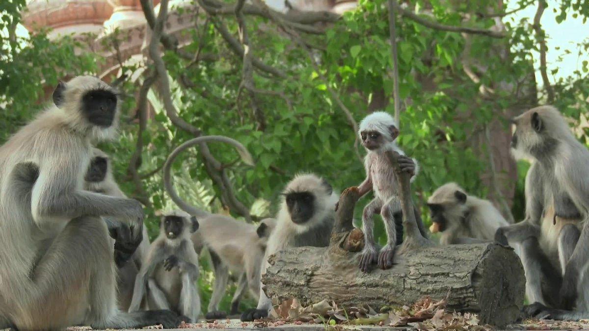 Documentario da BBC mostra um grupo de macacos de luto e chorando apos a morte de um macaquinho robo 2